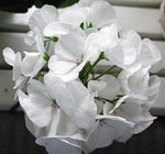 Pelargonium 'Mawerich White'