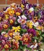 Minipensé, Viola x hybrida 'Brush Stokes'