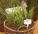 De Frankrijker. Miscanthus sinensis 'Goldbar'