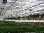 Oändliga odlingsbord och amplar i taket.