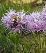 Purpurmynta, Monardella odoratissima