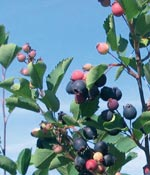 Bärhäggmispel, Amelanchier alnifolia, fk Alvdal E