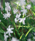Stor vårstjärna, Chionodoxa luciliae 'Alba'
