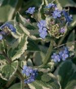Kaukasisk förgätmigej, Brunnera macrophylla 'Variegata'