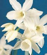 Orkidénarciss, Narcissus 'Thalia'