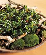 Sätt flera exemplar av Nematanthus i en skål med mosstuvor och grenstumpar