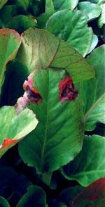 Angrepp av bladnematod på bergenia är vanligt, men förväxlas ofta med andra skadegörare.