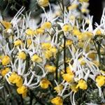 Nemesia cheiranthus 'Masquerade'