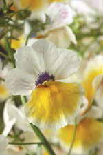 Nemesia hybrida Magma Flame Yellow White