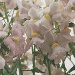 Nemesia, Nemesia foetans 'Poetry Lavender Pink'