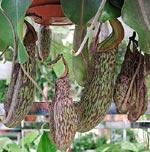 En nyare hybrid, Nepantes 'Gentle', kan klara att växa inomhus om den får tillräckligt mycket luftfuktighet. Duscha ofta! Den finns till salu i vissa större plantbutiker.