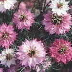 Nigella damascena 'Mulberry Rose'