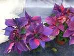 Nyfärgade julstjärnor