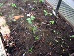 Gräv hellre bort ogräsen med rötterna än att vända hela jordmassan.