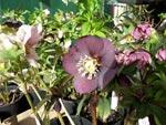 Olika H. x hybridus till salu i Botan