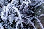 Ormbunkar med frost
