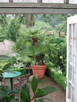 Oscarianska krukväxter solfjäderspalm utanför.