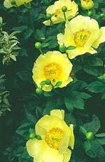 En gul megahybrid