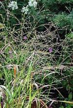 Panicum virgatum 'Rotstrahlbusch'