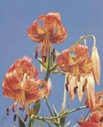 Panterlilja, Lilium pardalinum