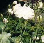 Papaver ' White Swan'