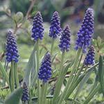 Pärlhyacint är en av de mest lättodlade blomsterlökarna