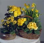 Gult – påskens färg nummer ett, här kalanchoë, begonia, påskliljor och primula tillsammans i korg och kruka.