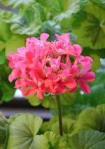 Pelargonium 'Petite Pierre'
