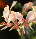 Pelargonium Longicaule (vildart)