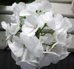 Pelargonium 'Mawerich White', fröpelargon