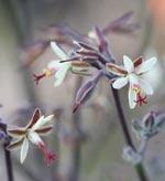 Pelargonium parviflorum (vildart)