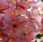 Pelargonium 'Raspberry Ripple'