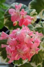 Pelargonium 'Wilhelm Languth'