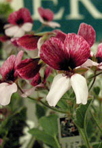 Pelargonium x splendide, ERA Garden