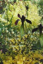 Iris chrysographes 'Black Form' med en gulbladig Berberis, Berberis thunbergii 'Aurea Nana' bakom och en gulblommande turkisk ginst, Cytisus 'Dukaat', framför, i fonden hänger dessutom ett gult penningblad, Lysimachia nummularia 'Aurea' över muren.