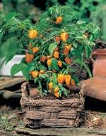 Chili, 'Sweet Orange Baby'
