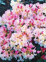Plats för rododendron