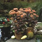 Årets Perenn 2000, Sedum 'Matrona', är en ljuvlig växt att odla i kruka. Bladverket är vackert hela året, blomningen är långvarig och lysande rosa. Blommornas generösa nektargömmor lockar dessutom många fjärilar till krukan.