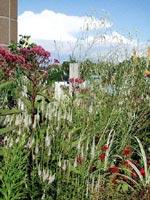 Det är Sanquisorba tenuifolia 'Alba' som svävar i bakgrunden. Den vita framför är Veronicastrum viginicum 'Album'.
