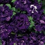Petunia, Petunia x hybrida 'Frillytunia Burgundy'