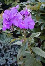 Phlox paniculata 'Iris'