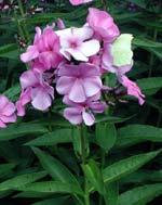 Phlox paniculata 'Bonny Maid'