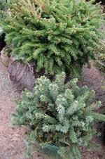Picea abies midiformis och Picea glauca 'Echiniformis'.