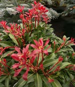 Pieris japonica 'Mountain Flame'