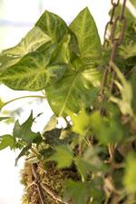 Pilspetsranka och murgröna i ampel