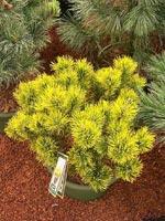 Pinus 'Carsten's Wintergold'