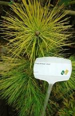 Kees Stolker Pinus strobus 'Louie'