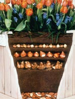 Att odla i hinkar och byttor av alla de slag är populärt. Enklaste sättet att vinterförvara krukan är att gräva ner den helt ute under vintern, täcka med löv och sedan driva fram dem under våren, inne eller ute, beroende på var man vill ha sin vårhörna.
