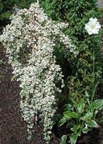 Cotoneaster dammeri 'Julietta', Juniperus 'Arnold', Hosta 'So Sweet' och Scabiosa caucasica 'Perfecta Alba'.