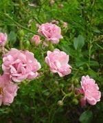 Polyantaros, Rosa Chinensis-gruppen
